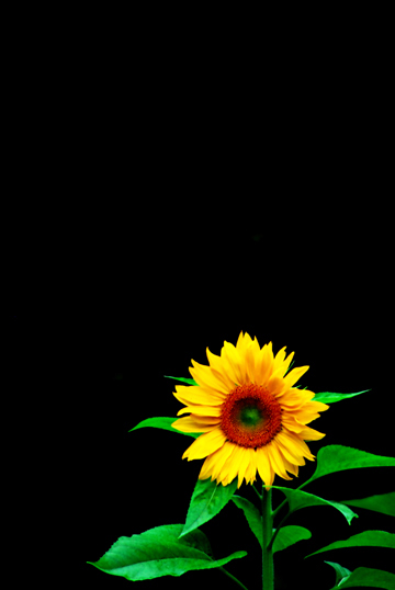 Single Sunflower Against Black Background