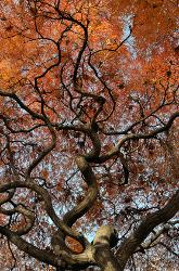 Vertical photograph of a Japanese Maple tree with golden bronze autumn leaves producing a beautiful abstract.