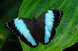 photograph of a Blue Morpho tropical butterfly resting on green leaf