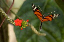 photograph of a type of postman tropical butterfly, black with orange markings and white spots taking flight off of a small red tropical flower