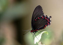 photograph of a tropical butterfly black with white and red spotting on the edge of its wings