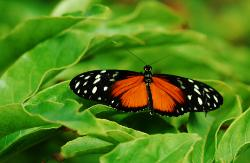 photograph of a cream-spotted tigerwing tropical butterfly black with red and white spotting