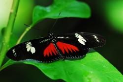 photograph of a Doris Longwing tropical butterfly black with red and white