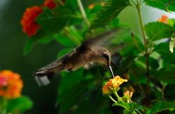photograph of a hummingbird feeding on lantana flower