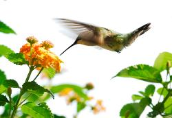 Hummingbird in flight feeding on lantana flower