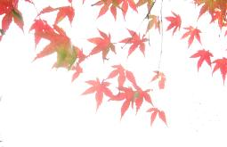 Red Japanese Maple leaves against a sunny sky