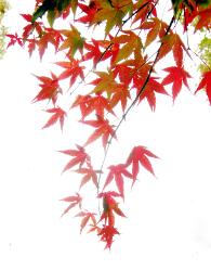 photograph of brilliant red Japanese Maple leaves against the bright sky
