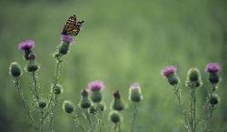 photograph of a Monarch butterfly in a field feeding on purple thistle flowers