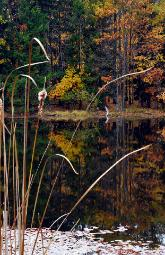 Art photograph looking through curly cattail reeds over still water in a pond with autumn colored trees on the far bank of the pond.