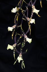 photograph of a beautiful spray of spider orchids against a black background