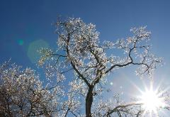 photograph of a brilliant crystal ice storm tree lit up by a bright sun with rays