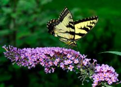 Swallowtail butterfly on purple butterfly bush flower