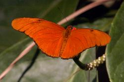 Julia tropical butterfly all orange