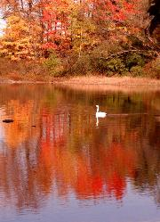 Beautiful white swan swimming in red autumn tree reflection in pond