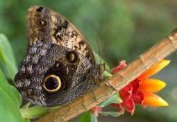 photograph of an owl-eyed butterfly resting on a branch