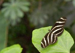 beautiful photograph of a Zebra tropical butterfly resting on a green leaf